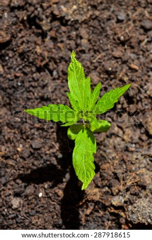 Marijuana plants stock photos royalty free images for Green floor plant