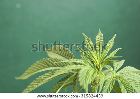 cannabis plant close up, green background  - stock photo