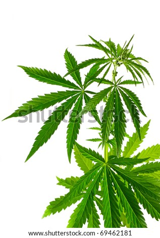 Cannabis plant isolated on a white background - stock photo