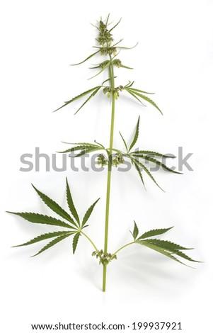 Cannabis plant isolated on white background - stock photo