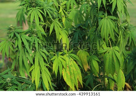 cannabis plant (marijuana) as nice natural medical background - stock photo