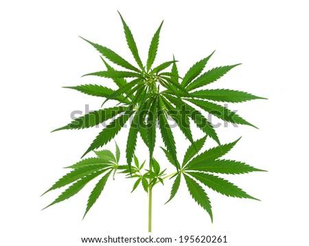 Cannabis plant, marijuana plant isolated on white - stock photo