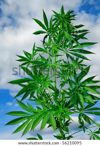 Cannabis plant on the background of blue sky with clouds - stock photo