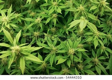 Cannabis plants background. - stock photo