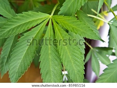 Cannabis sativa leaf - stock photo