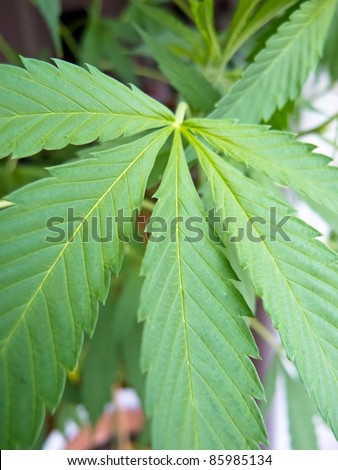 Cannabis sativa leaf - stock photo