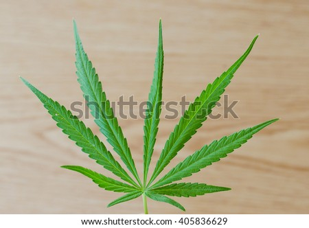 Cannabis sativa leaf over wooden table