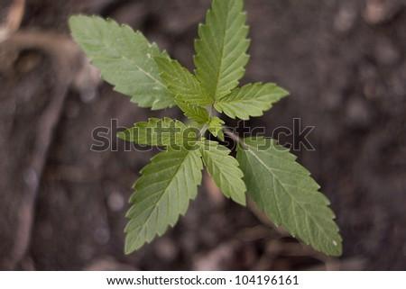Cannabis Sativa Seedling - stock photo