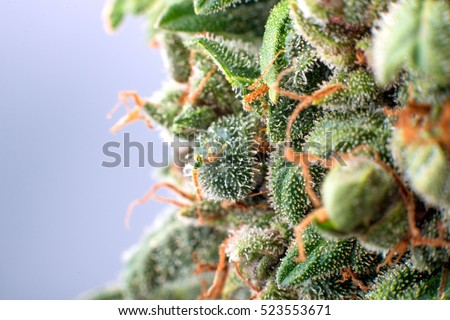 cannabis trichomes macro photo of plant marijuana bud health, cultivation of hybrid varieties of Indica and Sativa medical universities
