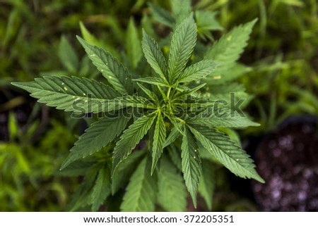 Cannibis or Marijuana Plant Seedling - stock photo