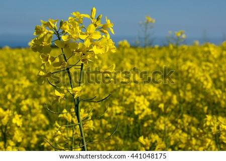 Canola coleseed blossom, rapeseed field against blue sky - stock photo