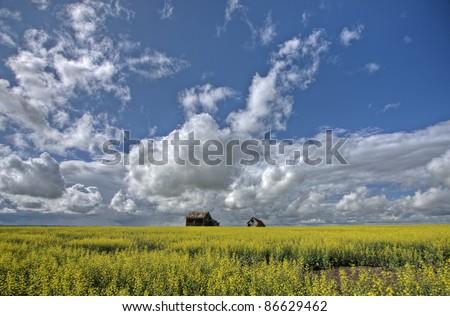 Canola Crop Canada and Red Barn Saskatchewan - stock photo