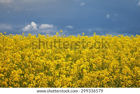 Canola field and big storm clouds. - stock photo