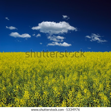 Canola Field and Blue Sky with Clouds - stock photo
