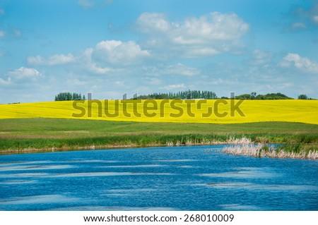 Canola field and lake - stock photo