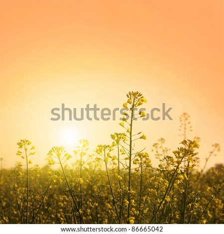 Canola field at twilight.