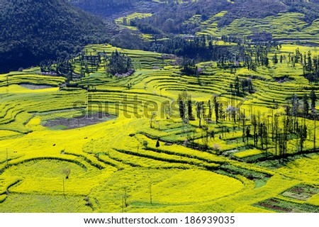 Canola field in Luoping - stock photo