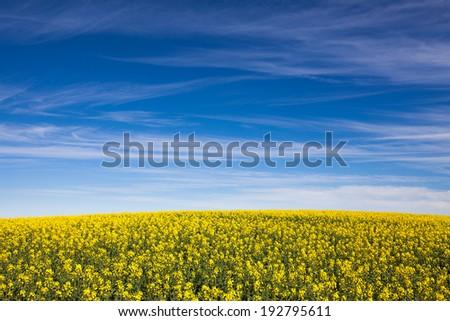 Canola field in South Australia - stock photo
