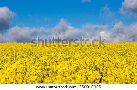 Canola field in summer with yellow flowers and blue sky. - stock photo