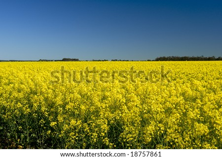 Canola Field in Victoria, Australia - stock photo