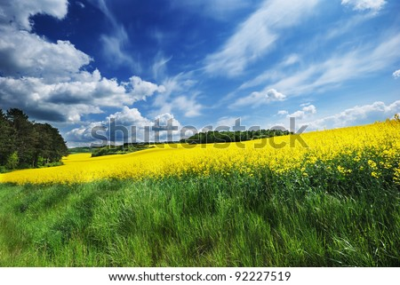 Canola field under cloudy blue sky