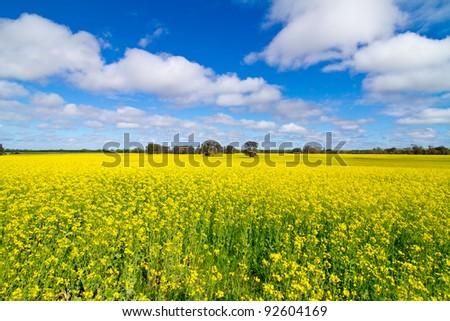 Canola Field Western Australia - stock photo