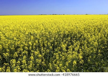 Canola field with canola oilseed and yellow rape flowers. Blue cloudy sky. Spring time. - stock photo