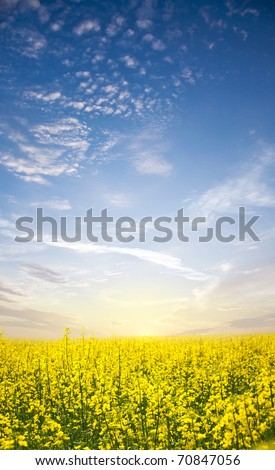 canola fields and green grass - stock photo