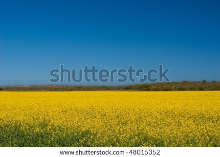 Canola fields in the Western Cape, South Africa - stock photo