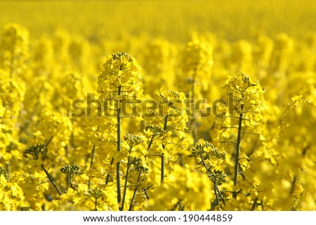 Canola fields or Rapeseed plant. - stock photo