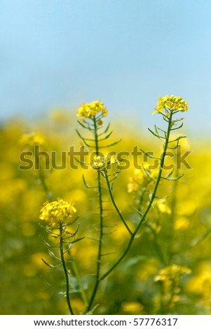 Canola flower as Spring season background.