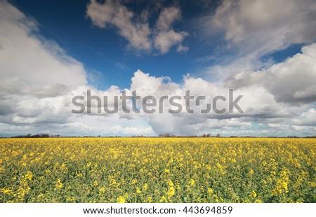 canola flower field and blue sky, Groningen, Netherlands - stock photo