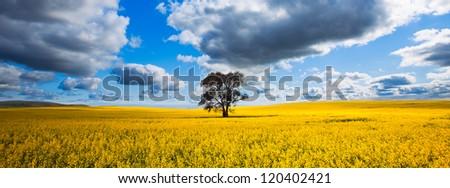 Canola Landscape - stock photo
