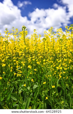 Canola or rapeseed plants growing in farm field, Manitoba, Canada - stock photo