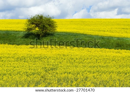 Canola (rapeseed) field with bush