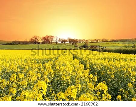 Canola Sunrise - stock photo