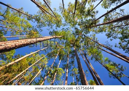 Canopies of Longleaf pine (Pinus palustris) - stock photo