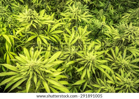 Canopy of Indoor Marijuana Garden Mature Plants with Buds and Leaves - stock photo