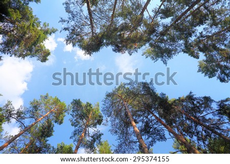 canopy of pine trees and blue sky between the branches - stock photo