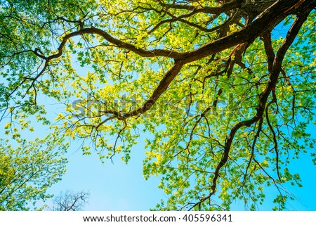 Canopy Of Tall Growing Oak Tree with Fresh Foliage in Spring Summer. Deciduous Forest, Summer Nature, Sunny Day. Upper Branches Of Tree. Low Angle View. Woods Background. - stock photo