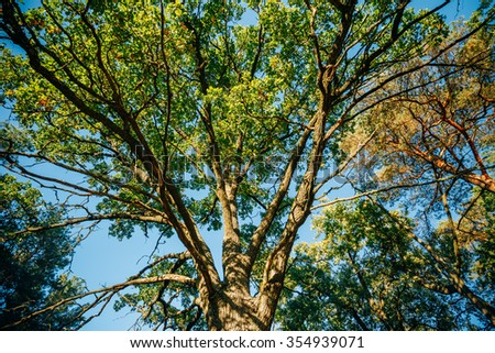 Canopy Of Tall Oak Tree. Sunny Deciduous Forest, Summer Nature. Upper Branches Of Tree - stock photo