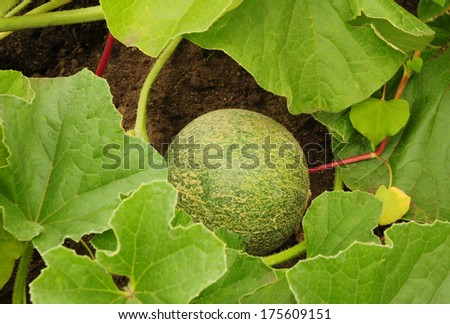 Cantaloupe growing on the vine in the garden - stock photo