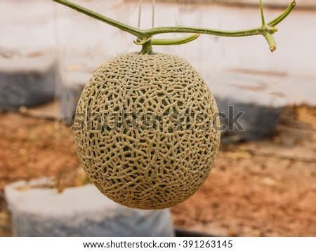 Cantaloupe melons growing in a greenhouse supported by string melon nets - stock photo