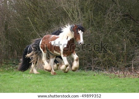 cantering Iris Cob - stock photo