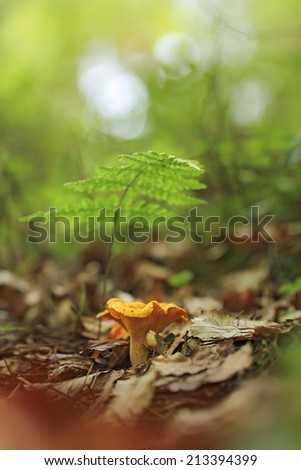 Cantharellus cibarius, commonly known as the chanterelle, golden chanterelle or girolle  - stock photo