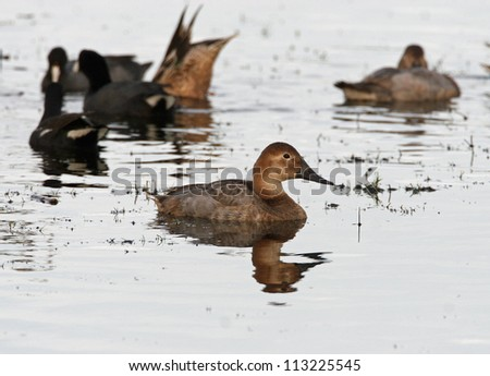 canvasback - stock photo