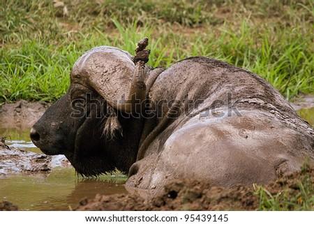 Cape (African) buffalo, Syncerus caffer - stock photo