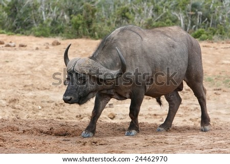 Cape buffalo bull with large curved horns
