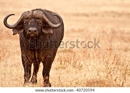 Cape Buffalo chewing some grass - stock photo