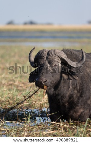Cape Buffalo on the Chobi River in Botswana Africa